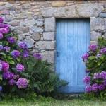 hortensien-bestechen-durch-ihr-romantisches-flair-foto-imago-